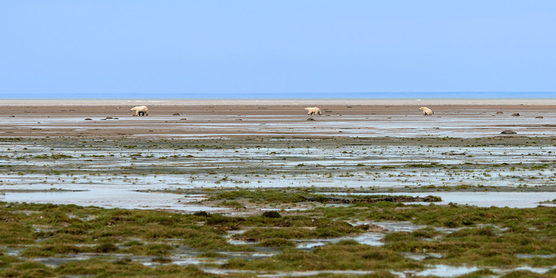 Polar-bear-country,-Nanuk,-Manitoba