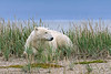 Polar-bear-resting-in-tall-grass-2,-Nanuk, Hudson's-Bay