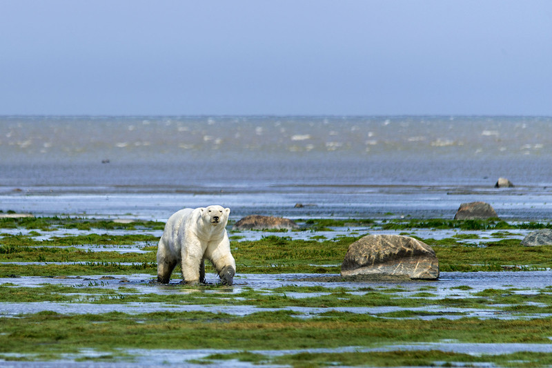 Polar-bear-walking-on-mud-flats-2,-Nanuk,-Hudson's-Bay
