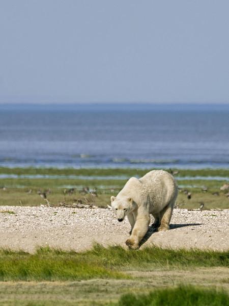 Curious-polar-bear-2,-Nanuk