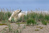 Polar-bear-sniffing-the-breeze-1,-Nanuk,-Manitoba