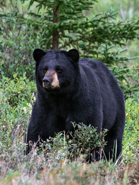 Black-bear-4,-Nanuk,-Manitoba