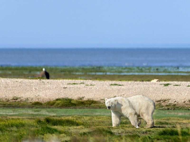Curious-polar-bear-4,-Nanuk
