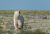 Curious-polar-bear-12,-Nanuk