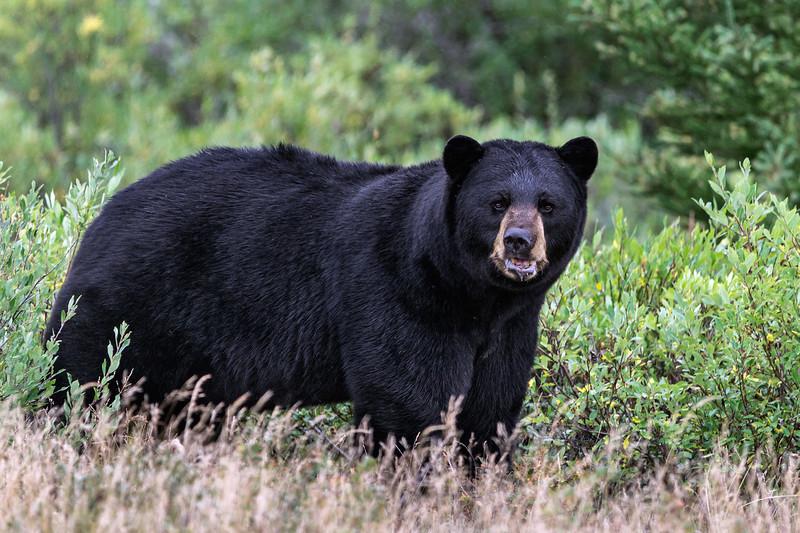 Salivating-black-bear,-Nanuk,-Manitoba
