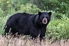 Salivating-black-bear,-Nanuk,-Manitoba