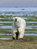 Polar-bear-portrait,-Nanuk,-Manitoba