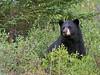 Black-bear-2,-Nanuk,-Manitoba