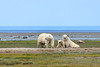 Mother-&-two-cubs-&-fata-morgana-3,-Nanuk,-Manitoba