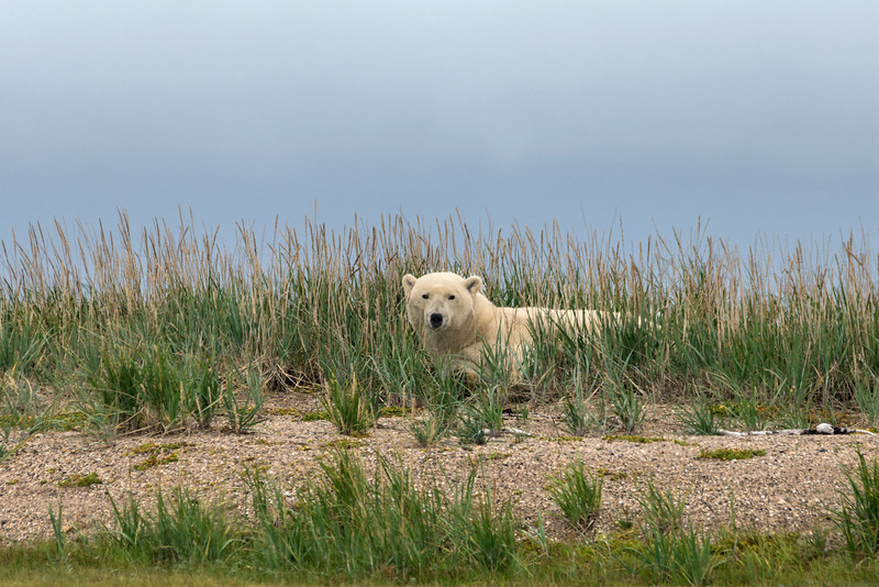Polar-bear-resting-in-tall-grass,-Nanuk,-Manitoba