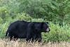 Black-bear-5,-Nanuk,-Manitoba