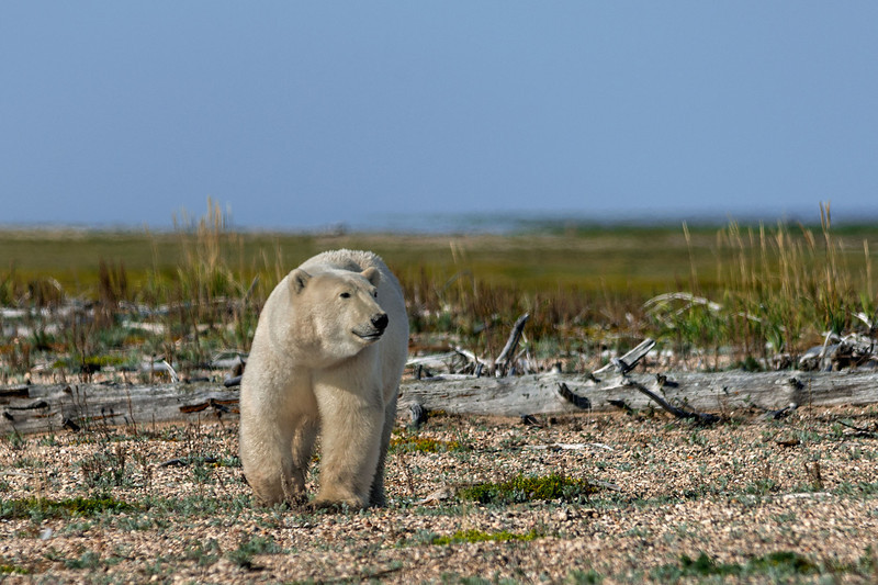 Curious-polar-bear-7,-Nanuk
