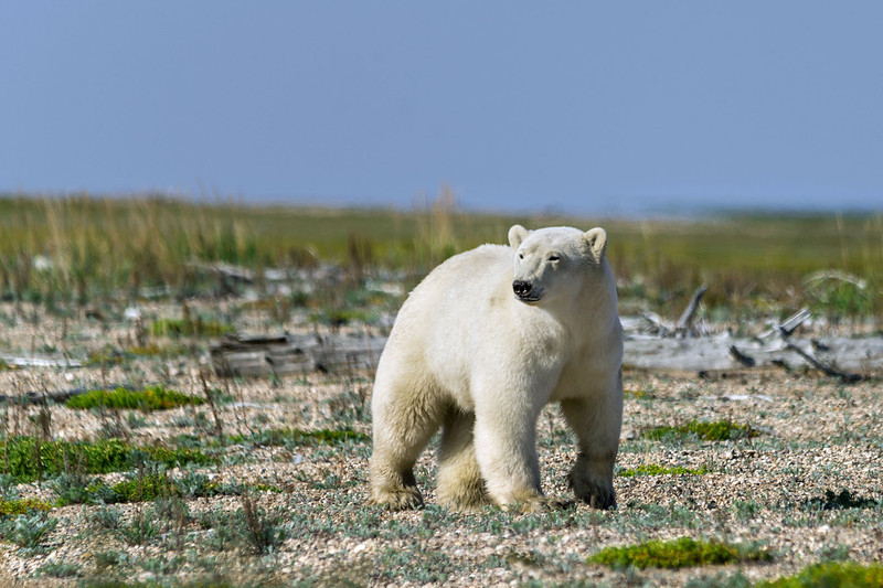Curious-polar-bear-10,-Nanuk