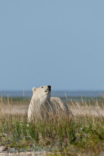 Curious-polar-bear-6,-Nanuk