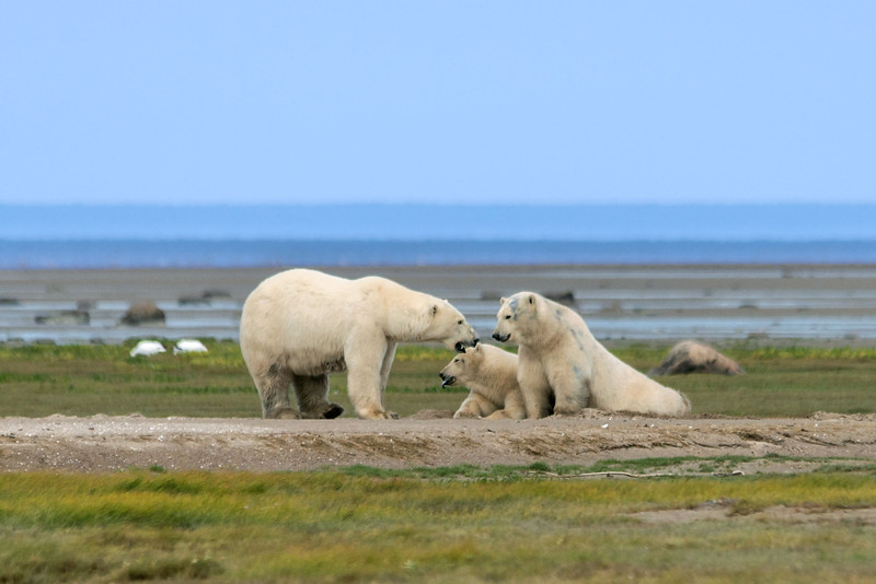 Mother-&-two-cubs-&-fata-morgana-4,-Nanuk,-Manitoba