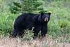 Black-bear-6,-Nanuk,-Manitoba