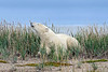 Polar-bear-sniffing-the-breeze-2,-Nanuk,-Manitoba