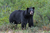 Black-bear-3,-Nanuk,-Manitoba