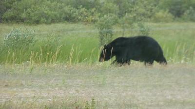 Black bear greets us upon arrival at Nanuk