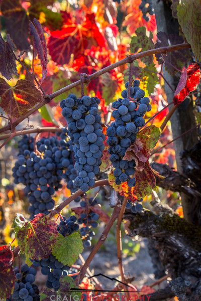 Napa Valley Harvest #30