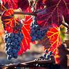 Napa Valley Harvest #31