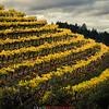 Diamond Mountain vineyard terraces above the Napa Valley