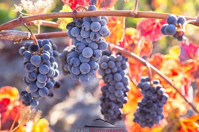 Napa Valley Harvest #28