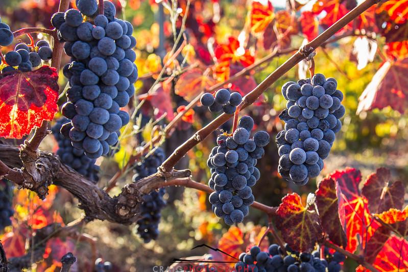 Napa Valley Harvest #29