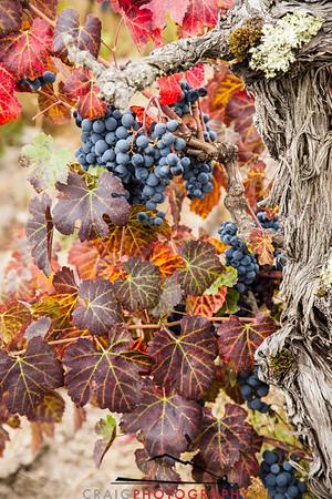 Napa Valley Harvest #19