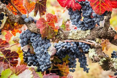 Napa Valley Harvest #21