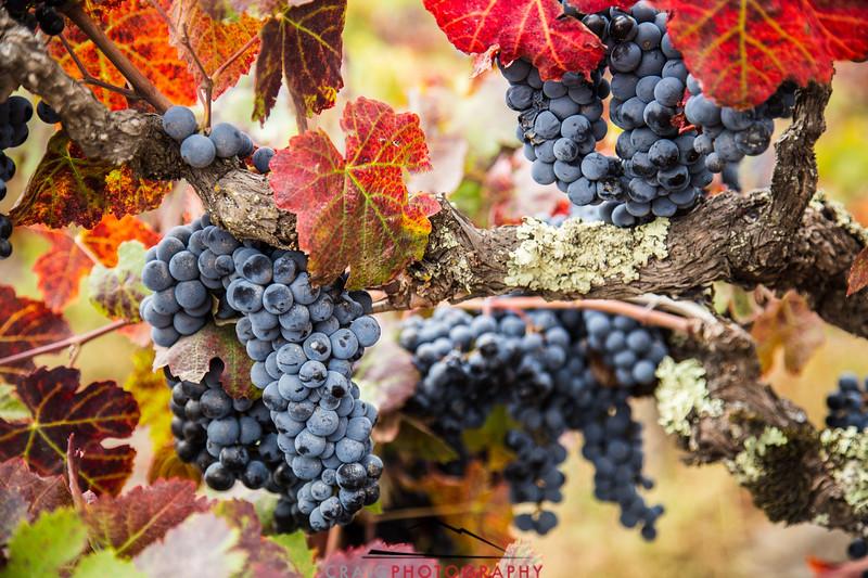 Napa Valley Harvest #22