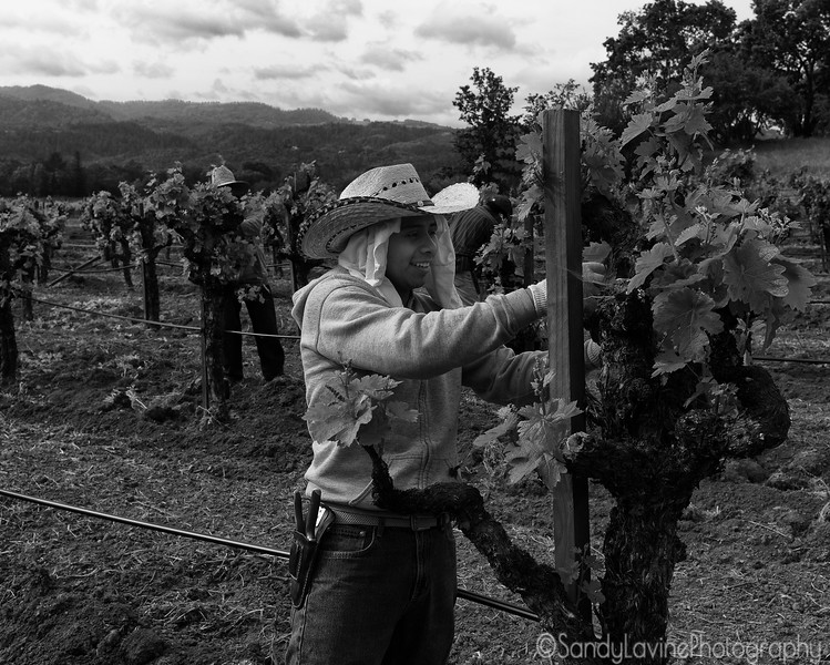 Chateau Montelena Vineyard Maintenance 3