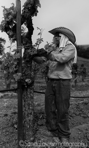 Chateau Montelena Vineyard Maintenance 2