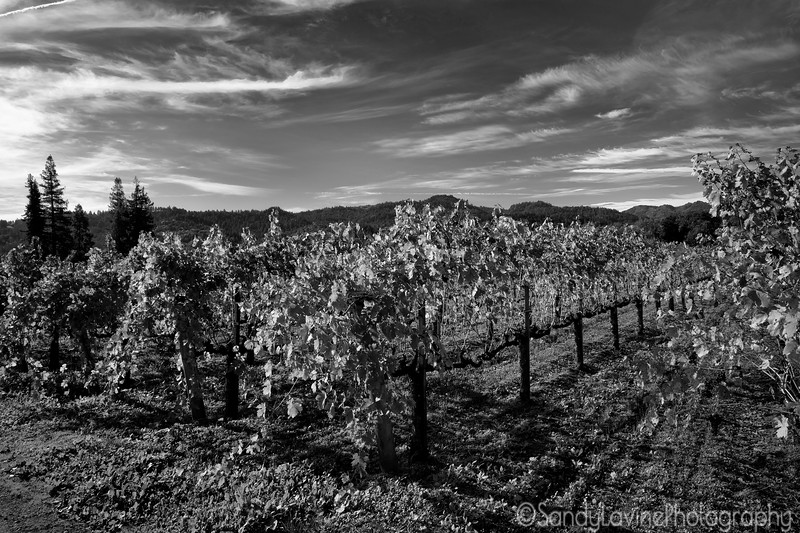 Silverado Trail Vineyard 2091
