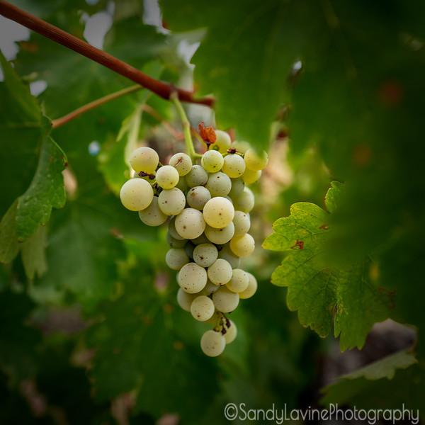 Chardonnay Grapes Two 2018