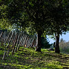 Vineyard Shade