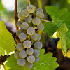 Chardonnay Grapes Detail