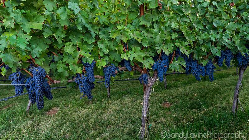 Fruit On The Vine 2019