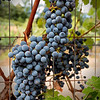 Cabernet Grapes on the Fence