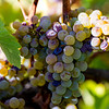 Ripe To Raisin Chardonnay Grapes
