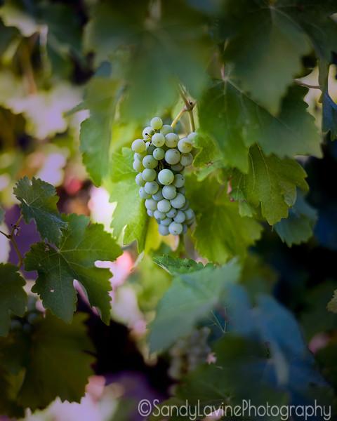 Chardonnay Grapes Summer 2019