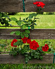 Seavey Roses on the Fence