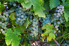 Chardonnay Grapes Angwin Sep 2016
