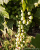 Developing Fruit on The Vine