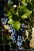 Grapes on the Vine Sep 2016