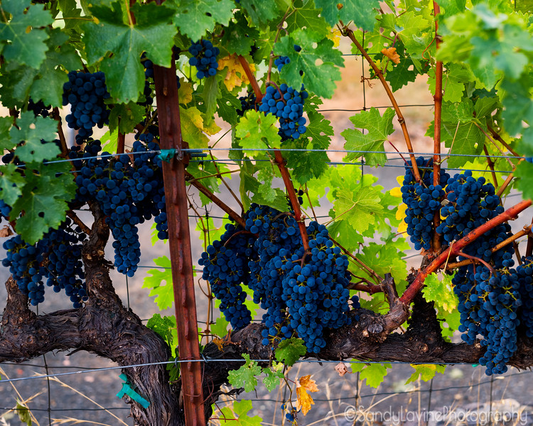 2019 Harvest On The Vine
