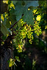 Young Grapes in The Afternoon Sun