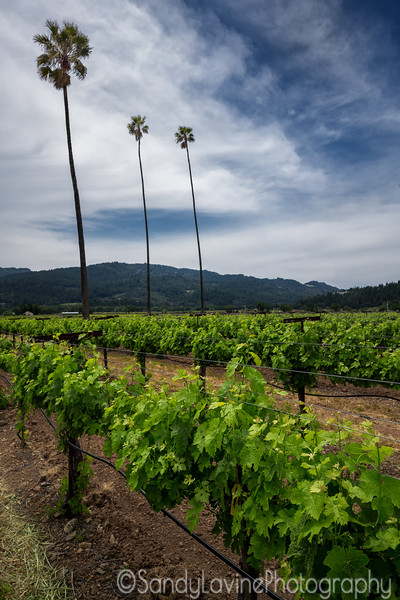 Three Palms Vineyard