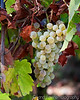 Angwin Chardonnay Grapes Sep 2016