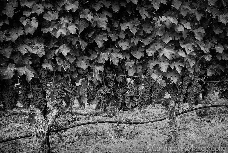 Fruit On The VIne, PB Hein Vineyard 2015